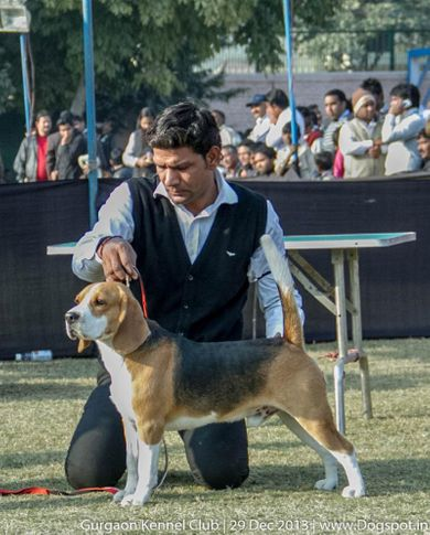 beagle,sw-109,, Gurgaon Dog Show 2013, DogSpot.in
