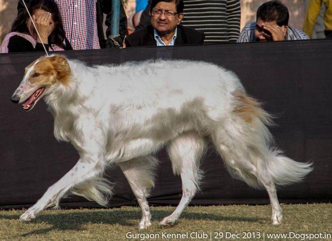 borzoi,sw-109,, Gurgaon Dog Show 2013, DogSpot.in