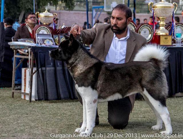 akita,sw-109,, Gurgaon Dog Show 2013, DogSpot.in