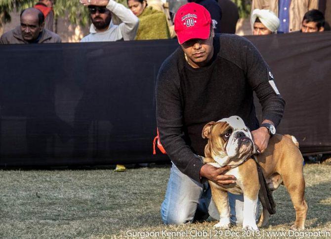 english bull dog,sw-109,, Gurgaon Dog Show 2013, DogSpot.in