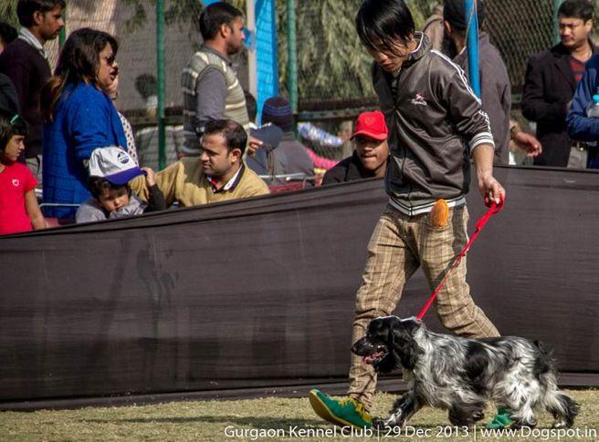 american cocker spaniel,sw-109,, Gurgaon Dog Show 2013, DogSpot.in