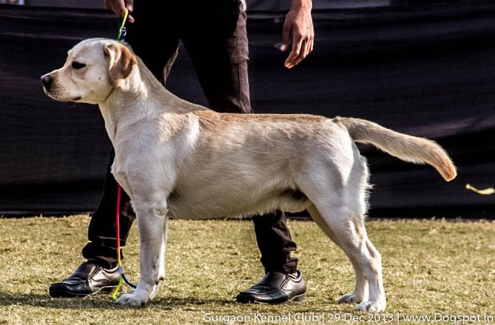 ex-83,labrador retriever,sw-109,, SINGHAM, Labrador Retriever, DogSpot.in