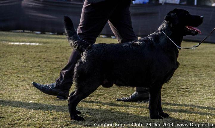 labrador retriever,sw-109,, Gurgaon Dog Show 2013, DogSpot.in