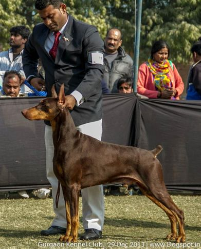 doberman pinscher,ex-177,sw-109,, BISS & BIS AM & IND CH. A MONDES ERIC THE NIGHT WISH, Doberman Pinscher, DogSpot.in
