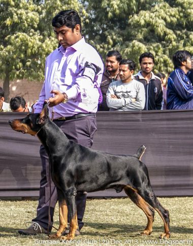 doberman pinscher,ex-185,sw-109,, SHOW STOPPER, Doberman Pinscher, DogSpot.in