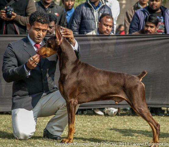 doberman pinscher,sw-109,, Gurgaon Dog Show 2013, DogSpot.in