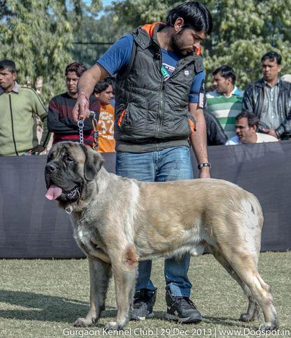 english mastiff,ex-221,sw-109,, BAGHERA OF SHANKY, Mastiff- English, DogSpot.in