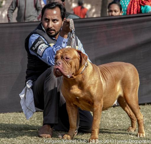 dogue de bordeaux,french mastiff,sw-109,, Gurgaon Dog Show 2013, DogSpot.in