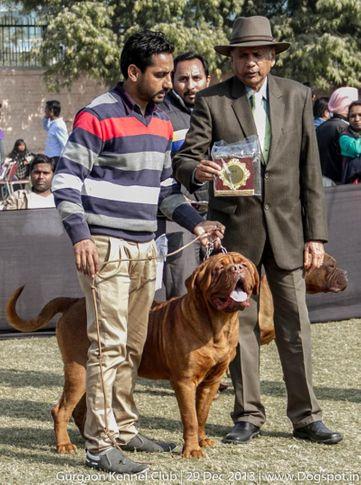 dogue de bordeaux,french mastiff,sw-109,, Gurgaon Dog Show 2013, DogSpot.in