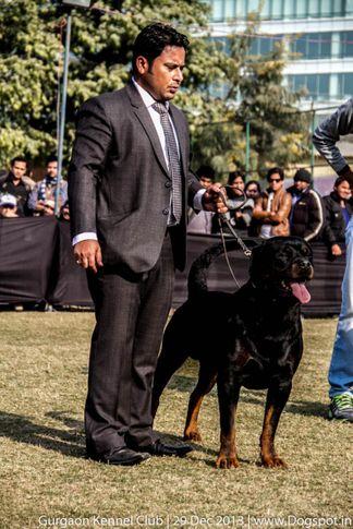 rottweiler,sw-109,, Gurgaon Dog Show 2013, DogSpot.in