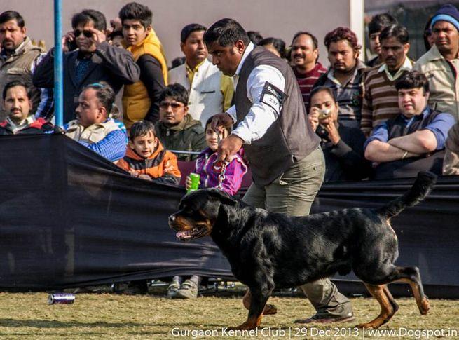 rottweiler,ex-237,sw-109,, EL DIABLO BRCKO STAR, Rottweiler, DogSpot.in