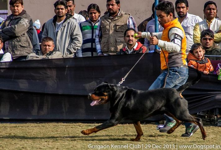 rottweiler,ex-239,sw-109,, UNIK FLASH ROUSE, Rottweiler, DogSpot.in
