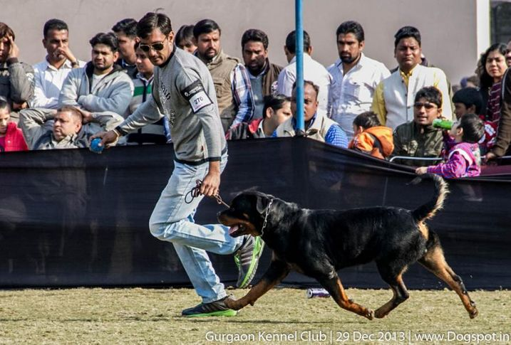 rottweiler,sw-109,, Gurgaon Dog Show 2013, DogSpot.in
