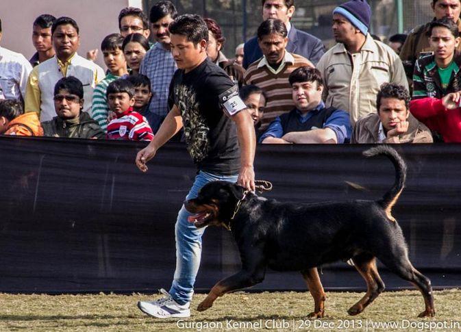 rottweiler,ex-253,sw-109,, Gurgaon Dog Show 2013, DogSpot.in