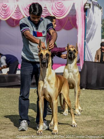 great dane,ex-208,sw-109,, PAQUIN'S I AM FOR TANY, Great Dane, DogSpot.in