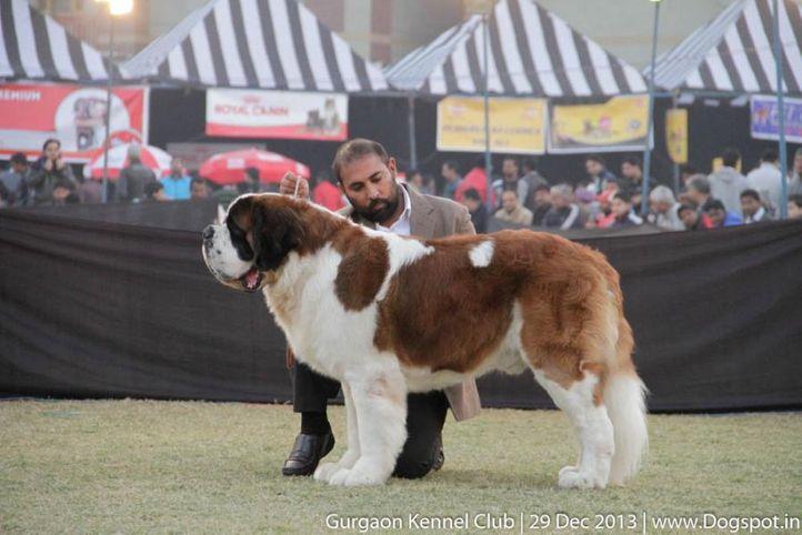st bernard,sw-109,, Gurgaon Dog Show 2013, DogSpot.in