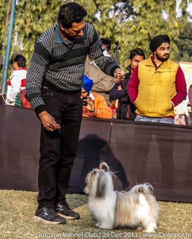 shih tzu,sw-109,, Gurgaon Dog Show 2013, DogSpot.in