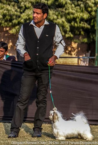 shih tzu,sw-109,, Gurgaon Dog Show 2013, DogSpot.in