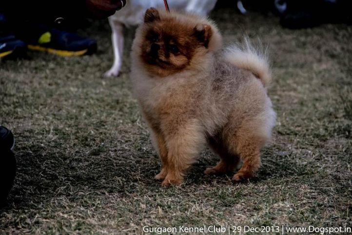 pom,pomeranian,sw-109,, Gurgaon Dog Show 2013, DogSpot.in