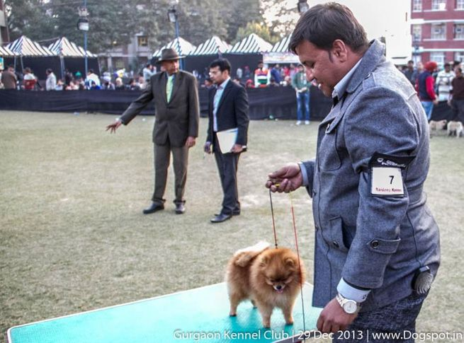 pom,pomeranian,sw-109,, Gurgaon Dog Show 2013, DogSpot.in