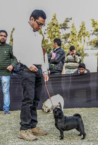 pug,sw-109,, Gurgaon Dog Show 2013, DogSpot.in