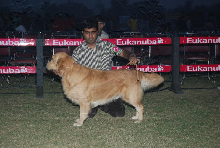 Golden,, Gurgaon Dog Show Day1, DogSpot.in