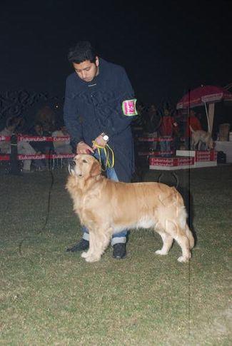 Golden,, Gurgaon Dog Show Day1, DogSpot.in