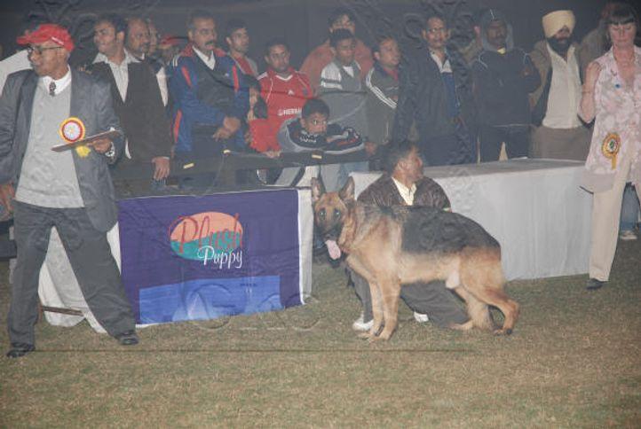 alsatian,gsd,, Gurgaon Dog Show Day1, DogSpot.in