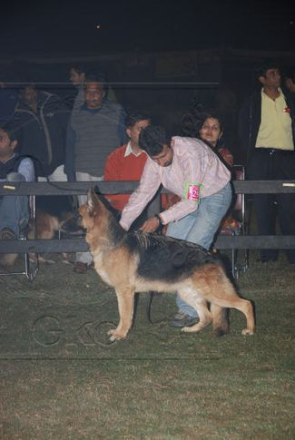 alsatian,gsd,, Gurgaon Dog Show Day1, DogSpot.in