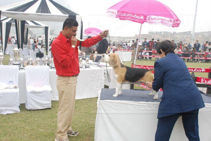 beagle,, Gurgaon Dog Show Day1, DogSpot.in