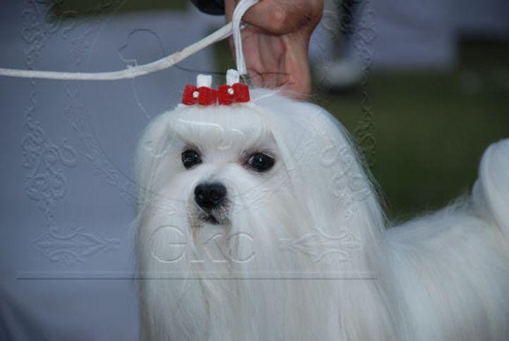 maltese,, Gurgaon Dog Show Day1, DogSpot.in