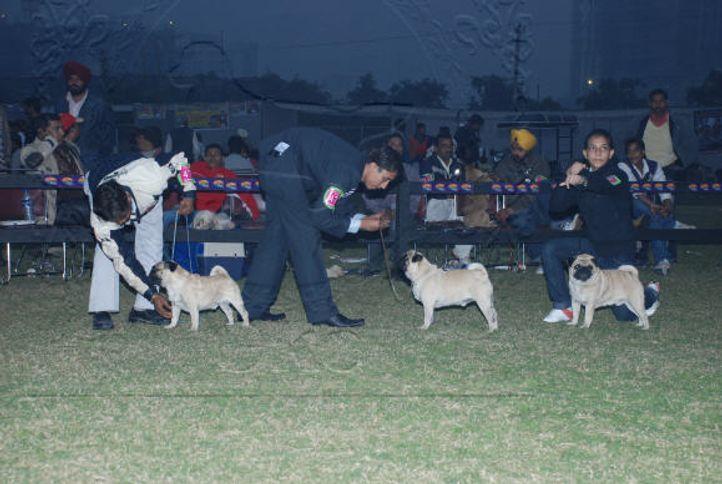 pug,, Gurgaon Dog Show Day1, DogSpot.in