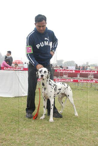 dalmatian,, Gurgaon Dog Show Day1, DogSpot.in