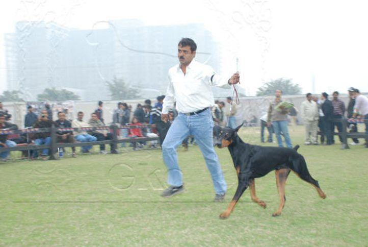 doberman,, Gurgaon Dog Show Day1, DogSpot.in