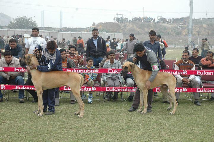 dane,greatdane,, Gurgaon Dog Show Day1, DogSpot.in