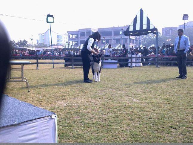 Akita,Gurgaon Dog Show,, Gurgaon Dog Show, DogSpot.in