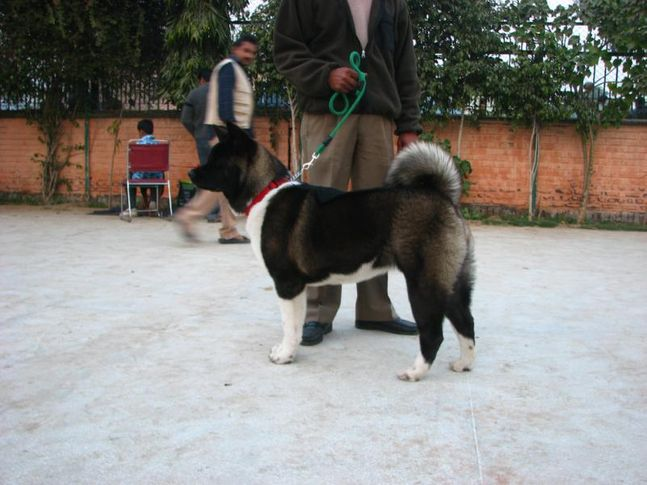 Akita,Gurgaon Dog Show,, Gurgaon Dog Show, DogSpot.in