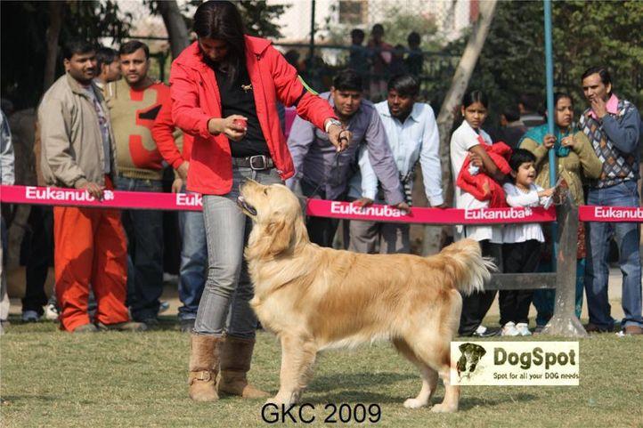 Chalks Ville Dream Maker,Golden,, Gurgaon Dog Show, DogSpot.in