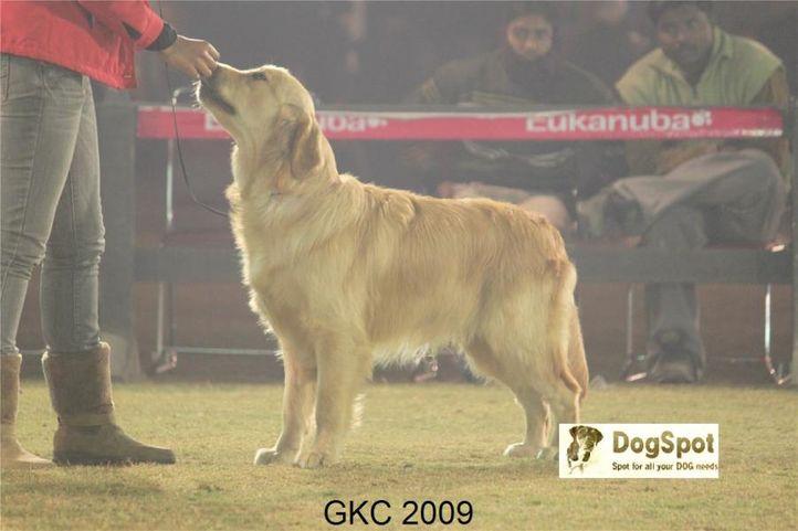 Lineup, Golden, Gurgaon Dog Show, DogSpot.in