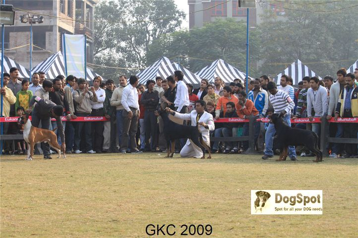 Boxer, Doberman, Heart Breaker, Rottweiler, Taaurus, Gurgaon Dog Show, DogSpot.in