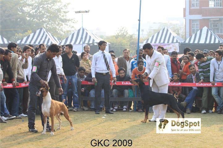 Boxer, Doberman, Heart Breaker, Taaurus, Gurgaon Dog Show, DogSpot.in