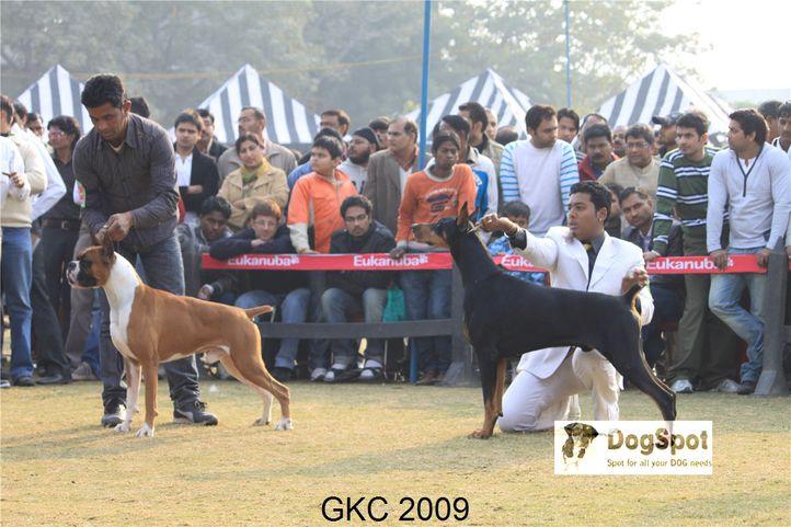 Boxer, Doberman,Heart Breaker,Taaurus,, Gurgaon Dog Show, DogSpot.in