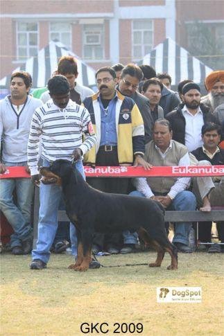 Rottweiler, Phyton Crni Lotos, Gurgaon Dog Show, DogSpot.in