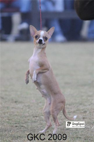 chihuahua,TOY,, Gurgaon Dog Show, DogSpot.in