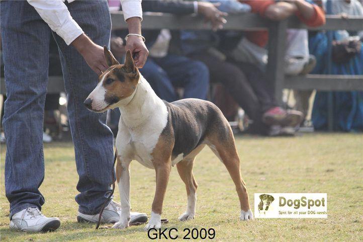 BullTerrier,, Gurgaon Dog Show, DogSpot.in