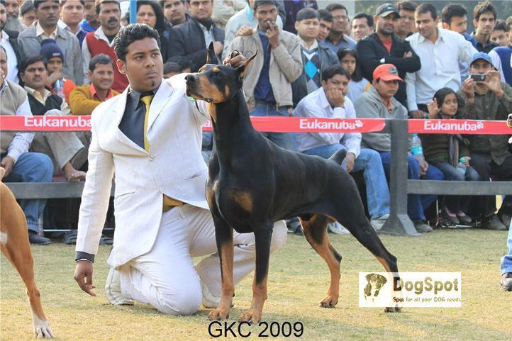 Doberman,Taaurus,, Gurgaon Dog Show, DogSpot.in