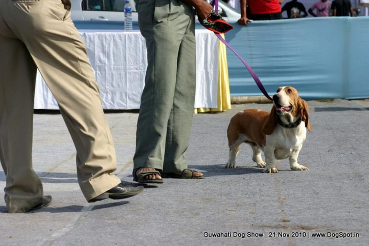 basset,ex-16,sw-9,, LEMONY AND TANGY, Basset Hound, DogSpot.in