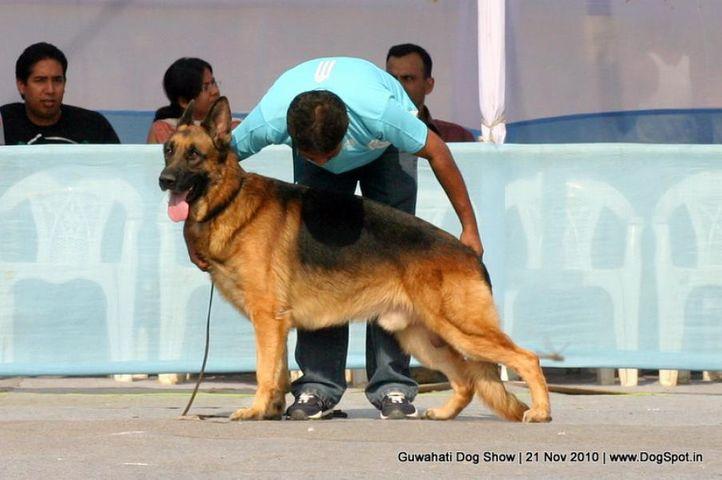 ex-144,gsd,sw-9,, EBOR, German Shepherd Dog, DogSpot.in