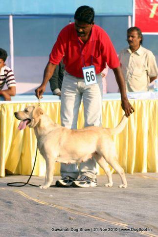 ex-66,labrador,sw-9,, CASSANDRA'S HEENA, Labrador Retriever, DogSpot.in