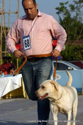 ex-68,labrador,sw-9,, GOOSY, Labrador Retriever, DogSpot.in